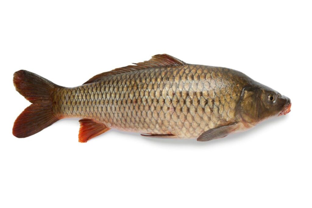 carp-fish-PDSXQEH