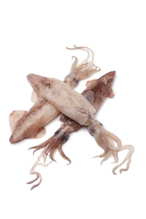 fresh-raw-squid-PMTA8PK